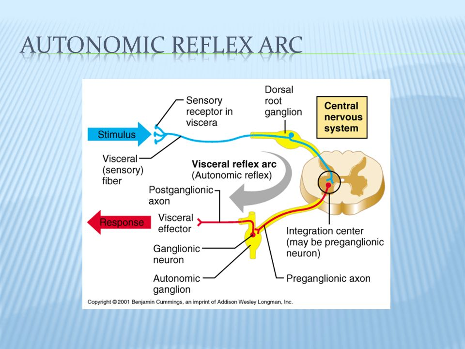 Honors anatomy physiology in pns operates via reflex arcs 4 when somatic motor neurons sends impulse to a muscle the effect always excitatoryif they stop sending impulses that muscle atrophies autonomic ccuart Gallery