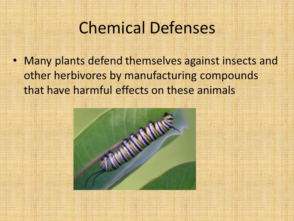 Chemical Defenses Many plants defend themselves against insects and other herbivores by manufacturing compounds that have harmful effects on these animals