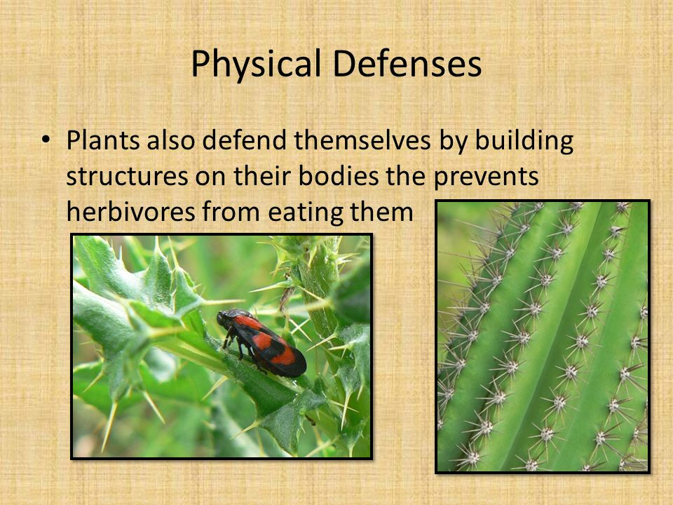 Physical Defenses Plants also defend themselves by building structures on their bodies the prevents herbivores from eating them