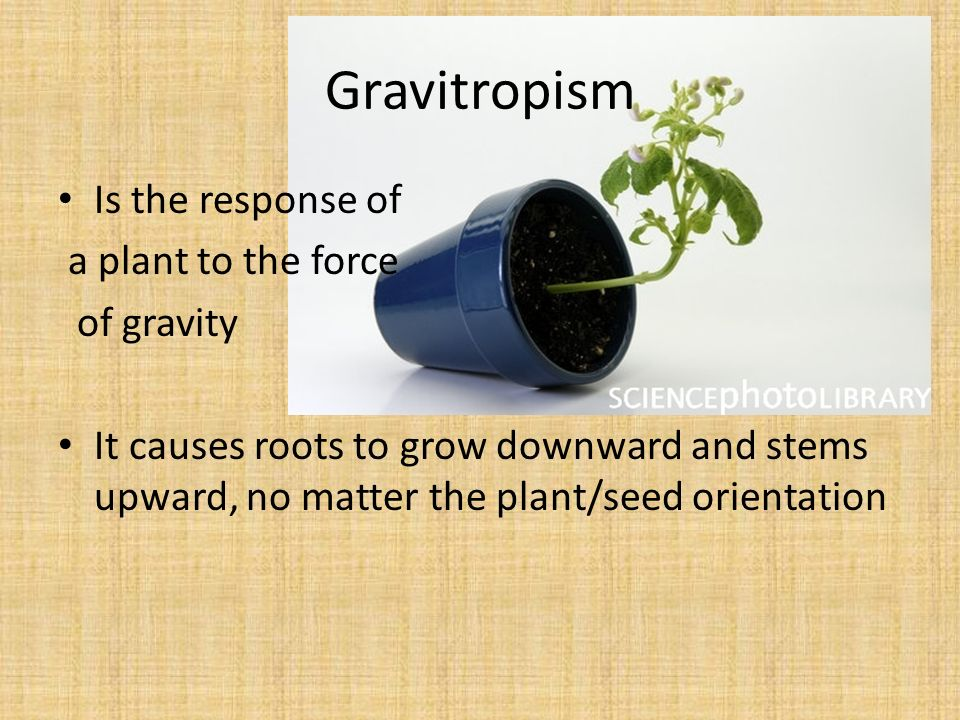 Gravitropism Is the response of a plant to the force of gravity It causes roots to grow downward and stems upward, no matter the plant/seed orientation