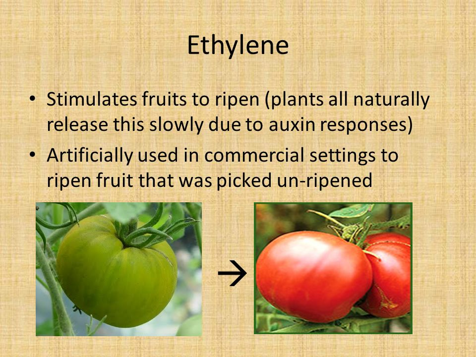 Ethylene Stimulates fruits to ripen (plants all naturally release this slowly due to auxin responses) Artificially used in commercial settings to ripen fruit that was picked un-ripened 