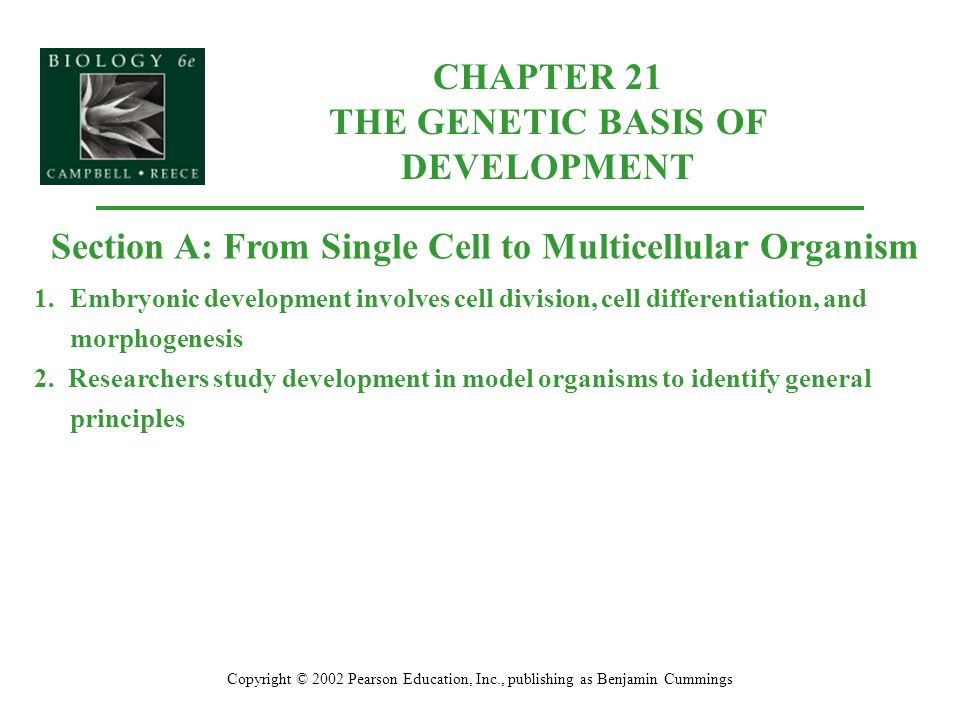CHAPTER 21 THE GENETIC BASIS OF DEVELOPMENT Copyright © 2002 Pearson Education, Inc., publishing as Benjamin Cummings Section A: From Single Cell to Multicellular Organism 1.Embryonic development involves cell division, cell differentiation, and morphogenesis 2.