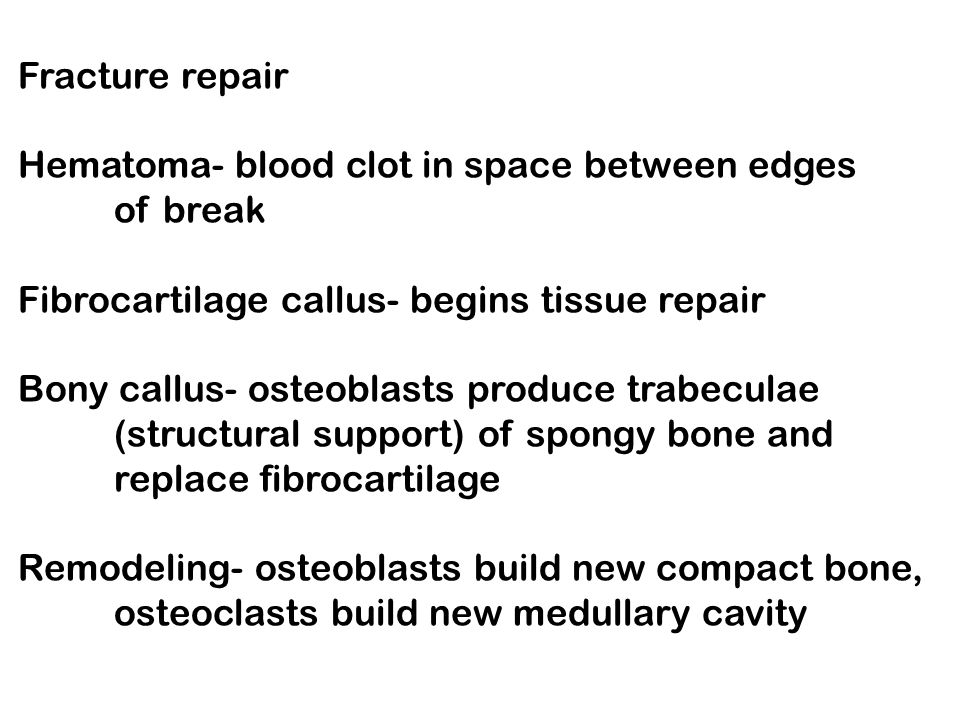 Fracture repair Hematoma- blood clot in space between edges of break Fibrocartilage callus- begins tissue repair Bony callus- osteoblasts produce trabeculae (structural support) of spongy bone and replace fibrocartilage Remodeling- osteoblasts build new compact bone, osteoclasts build new medullary cavity