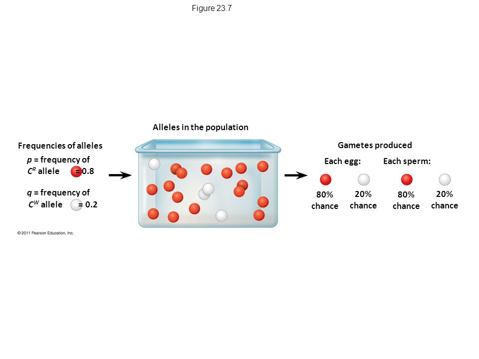 Figure 23.7 Alleles in the population Gametes produced Each egg: Each sperm: 80% chance 20% chance 80% chance 20% chance Frequencies of alleles p = frequency of q = frequency of C W allele = 0.2 C R allele = 0.8