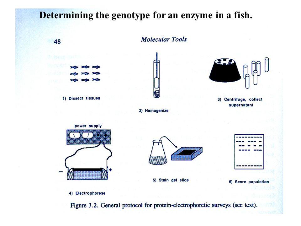 Population Genetic Hardy-Wienberg Law Genetic drift Inbreeding ...