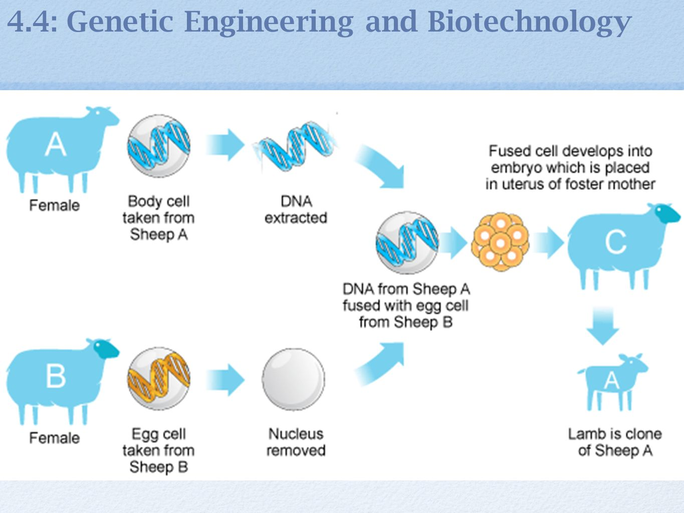 biotechnology cloning Cloning is the process of creating genetically identical copies of biological matter learn about natural clones, cloning methods, and more all about cloning.