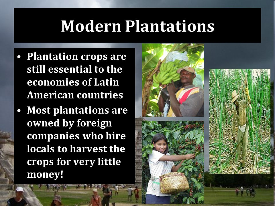 Modern Plantations Plantation crops are still essential to the economies of Latin American countries Most plantations are owned by foreign companies who hire locals to harvest the crops for very little money!