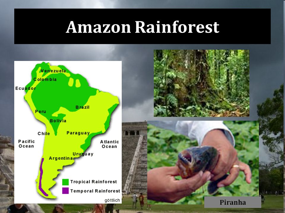 Amazon Rainforest Piranha