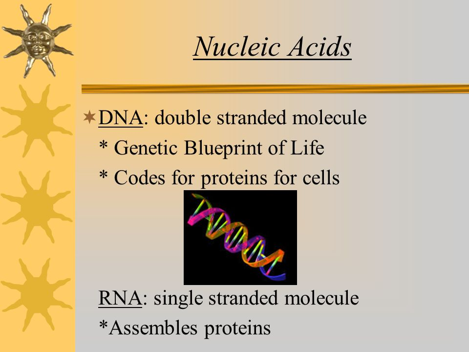 Nucleic Acids  DNA: double stranded molecule * Genetic Blueprint of Life * Codes for proteins for cells RNA: single stranded molecule *Assembles proteins