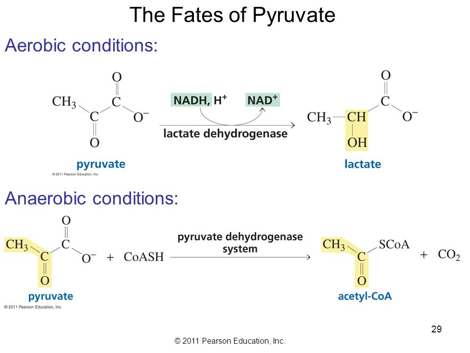 © 2011 Pearson Education, Inc. 29 The Fates of Pyruvate Aerobic conditions: Anaerobic conditions: