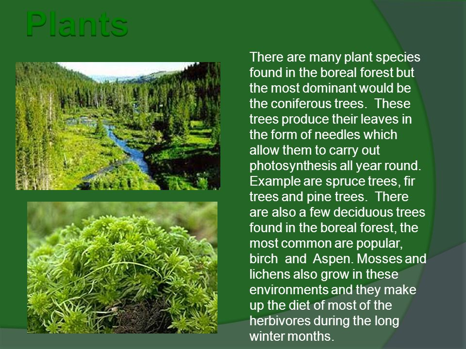 There are many plant species found in the boreal forest but the most dominant would be the coniferous trees.