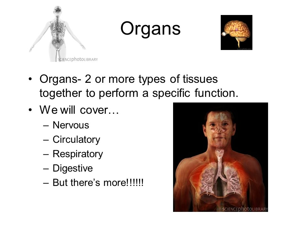 Organs Organs- 2 or more types of tissues together to perform a specific function.