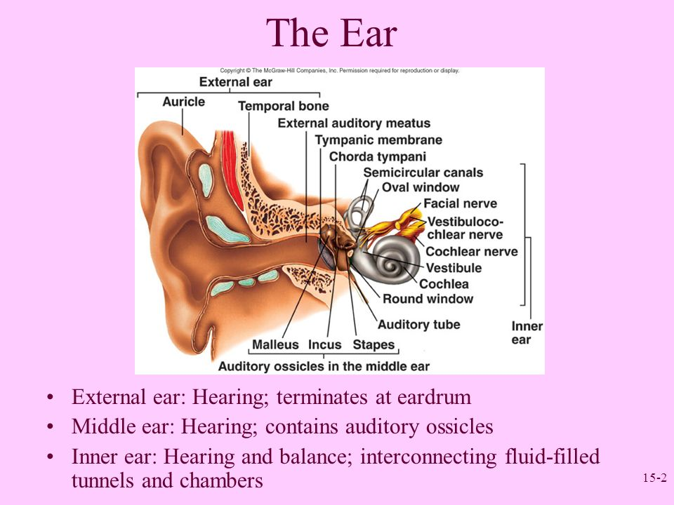 Schön The Anatomy And Physiology Of The Ear And Hearing Galerie ...