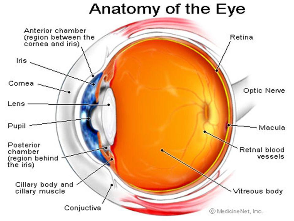 cyhsanatomy2 - The Retina
