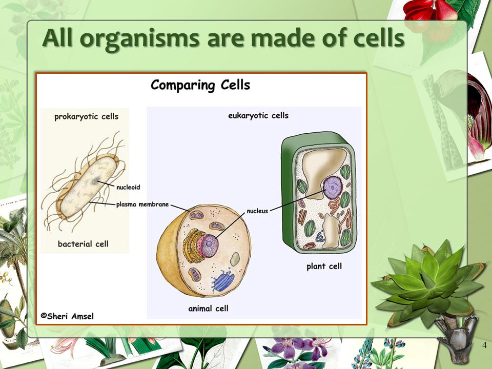 All organisms are made of cells 4