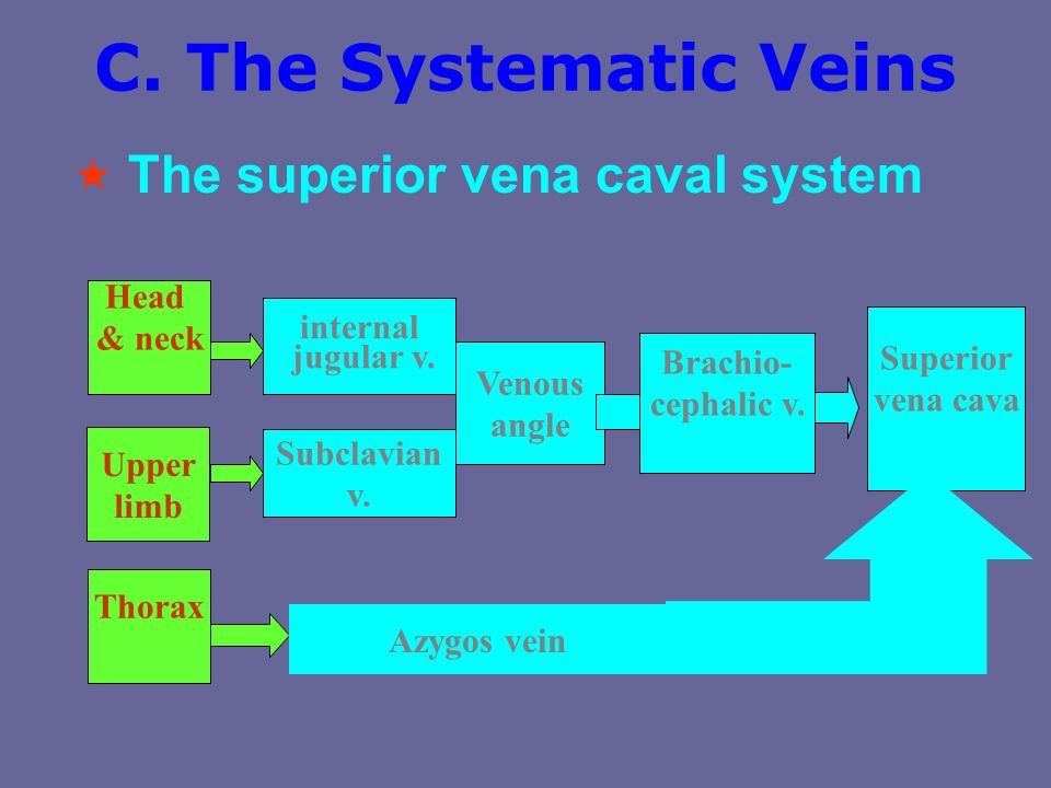 C. The Systematic Veins 1. The superior vena caval system  2. The inferior vena caval system 