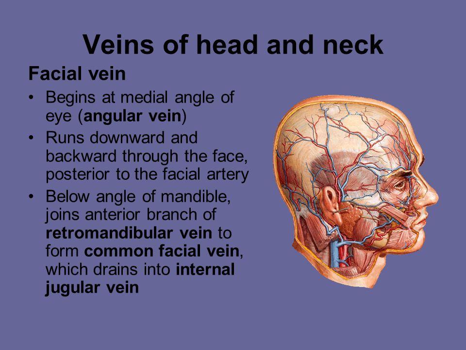 C. The Systematic Veins  The superior vena caval system Head & neck Upper limb internal jugular v. Subclavian v. Venous angle Brachio- cephalic v. Th