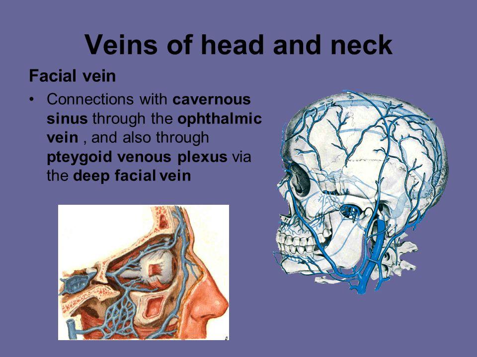 Veins of head and neck Facial vein Begins at medial angle of eye (angular vein) Runs downward and backward through the face, posterior to the facial a