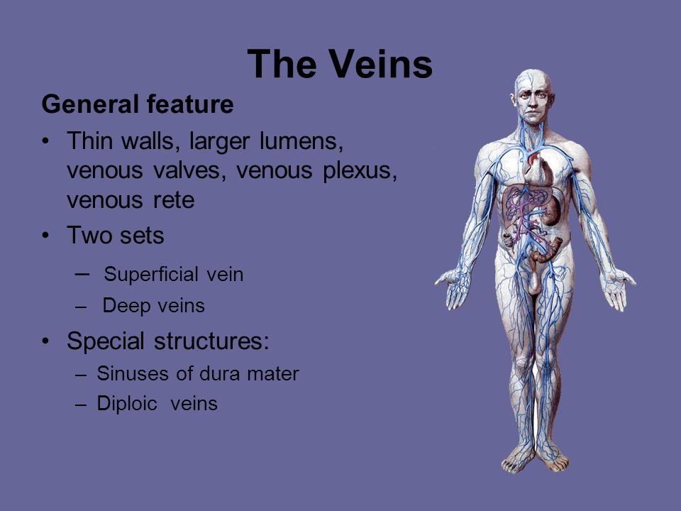 Veins normally accompany arteries and often have similar names. Veins are always larger than the arteries and are sometimes more visible than arteries