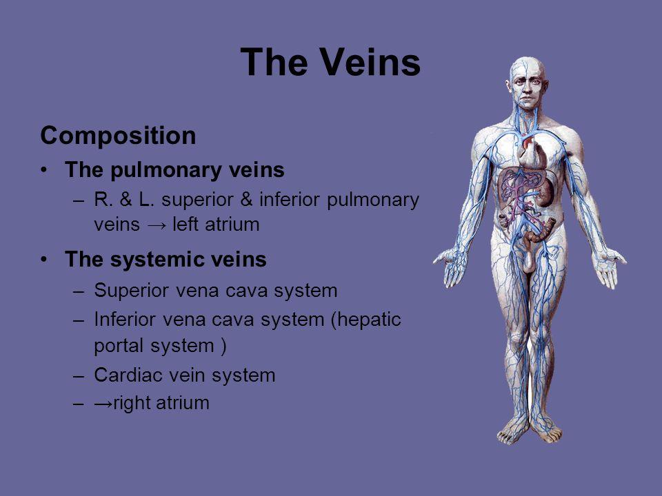 The Veins General feature Thin walls, larger lumens, venous valves, venous plexus, venous rete Two sets – Superficial vein – Deep veins Special struct