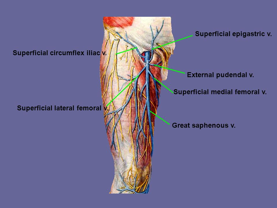 Veins of lower limb Great saphenous v. Begins the medial end of dorsal venous arch of foot –Passes anterior to the medial malleolus and ascends on the