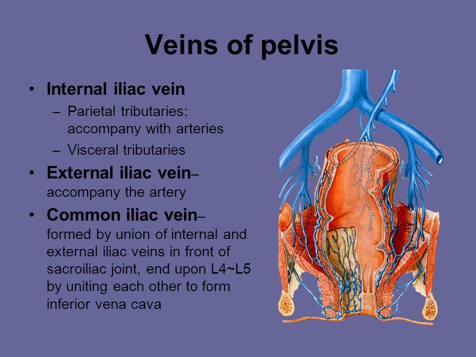 Veins of the Lower Limb A.Deep Veins 1.External iliac v. 2.  Femoral v. 3. Popliteal v. 4. Anterior tibial v. 5. Posterior tibial v.