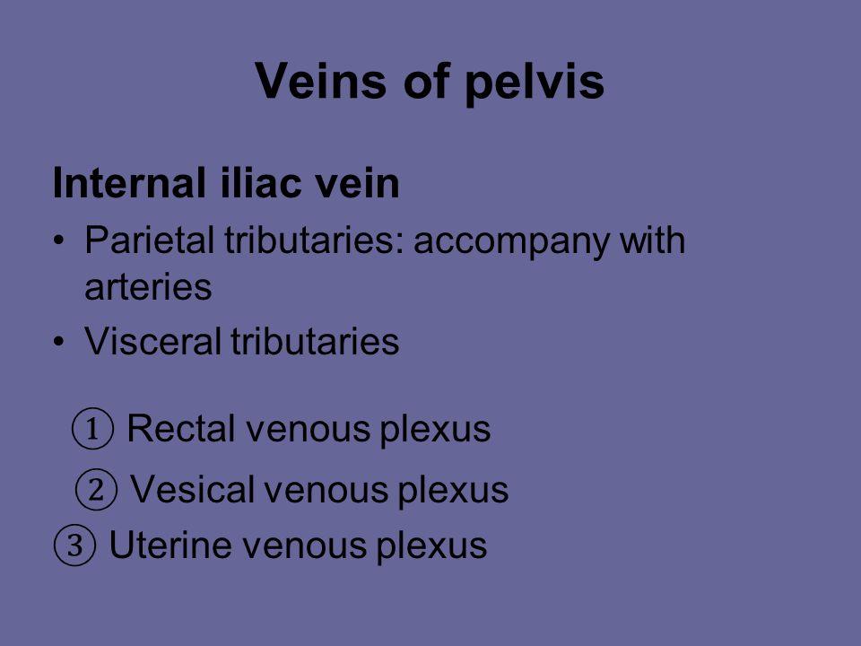 Veins of the Pelvis A. Parietal Tributaries 1. Superior gluteal v. 2. Inferior gluteal v. 3. Obturator v. 4. Lateral sacral v.