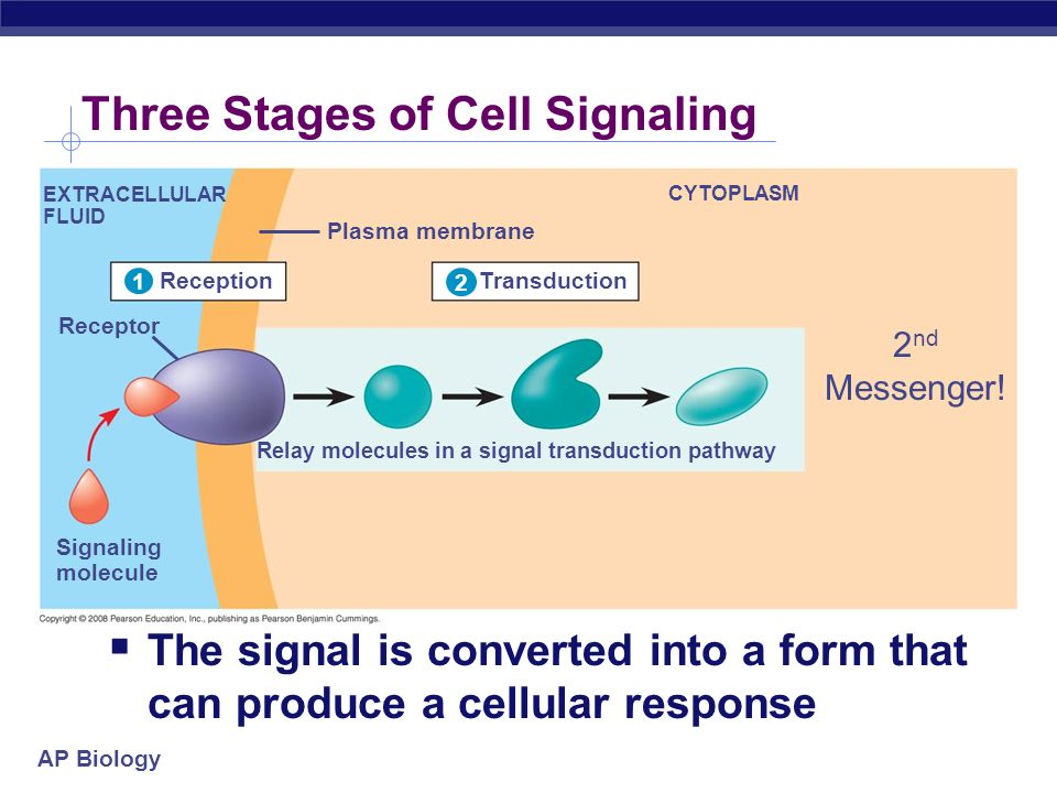 Cell Membrane Essay
