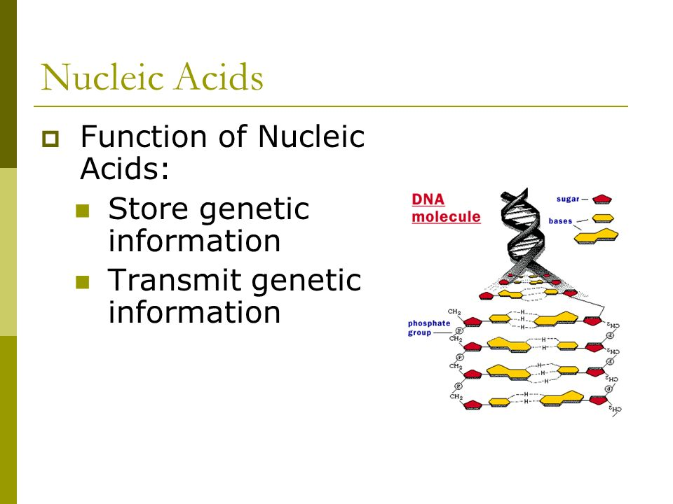 Nucleic Acids  Function of Nucleic Acids: Store genetic information Transmit genetic information