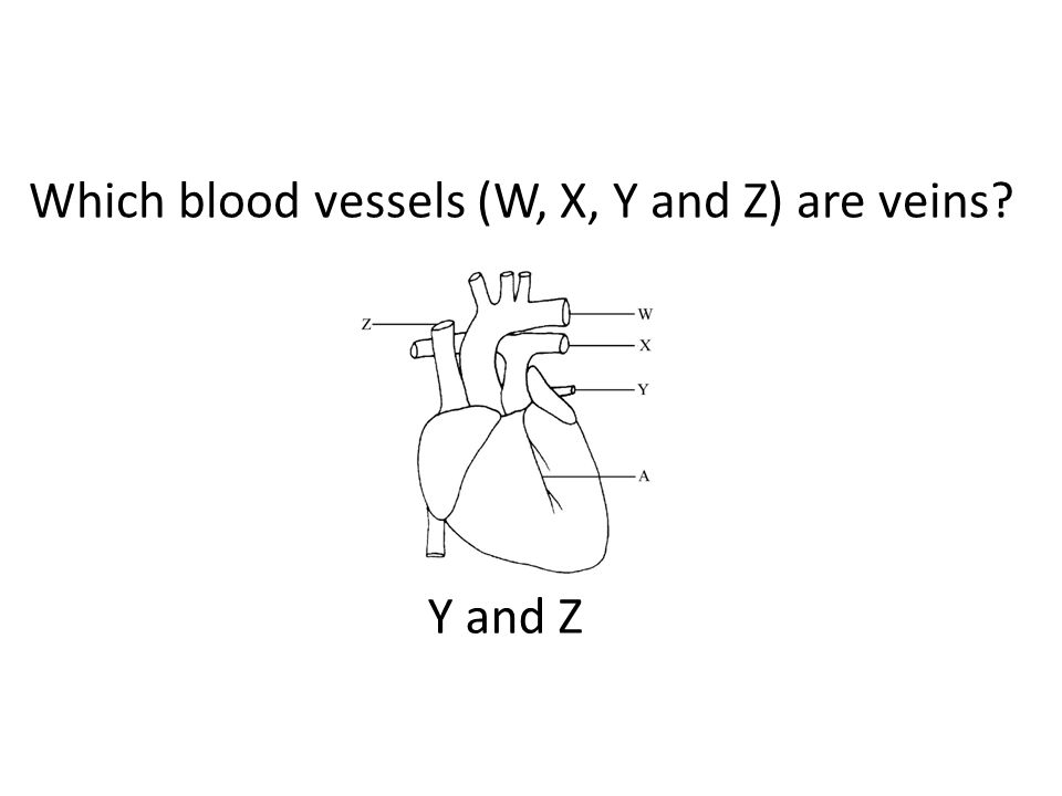 Which blood vessels (W, X, Y and Z) are veins Y and Z