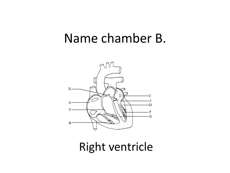 Name chamber B. Right ventricle