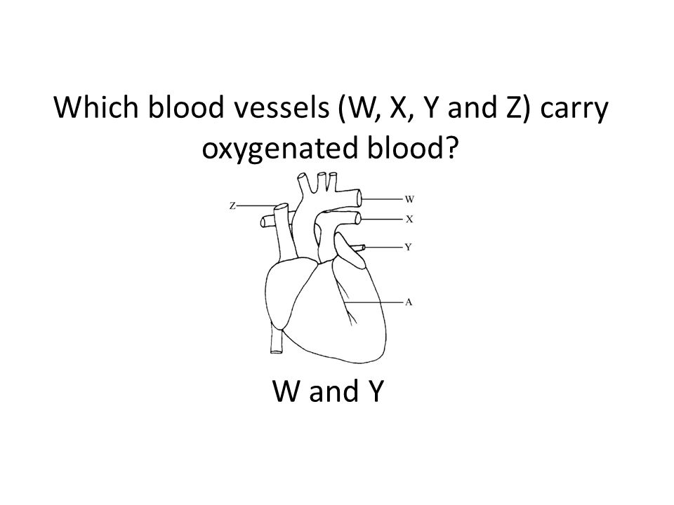 Which blood vessels (W, X, Y and Z) carry oxygenated blood W and Y