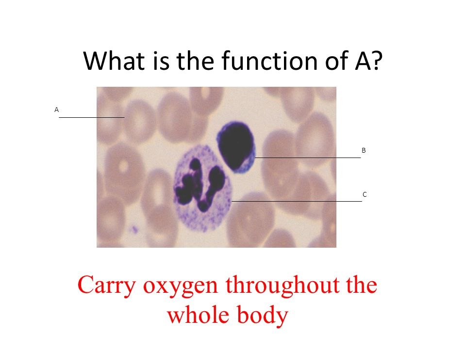What is the function of A Carry oxygen throughout the whole body A B C