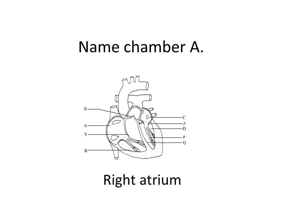Name chamber A. Right atrium