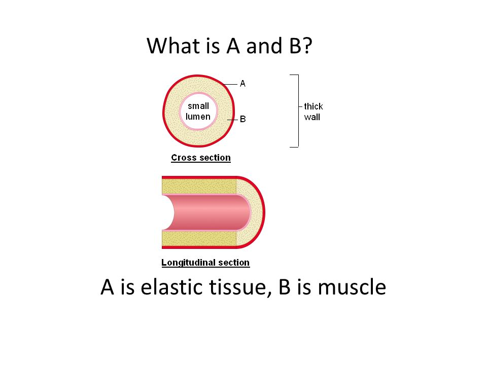 What is A and B A is elastic tissue, B is muscle