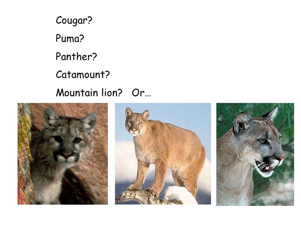 Cougar? Puma? Panther? Catamount? Mountain lion? Or…