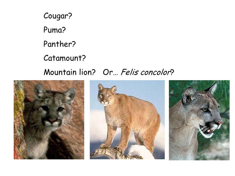Cougar? Puma? Panther? Catamount? Mountain lion? Or… Felis concolor?