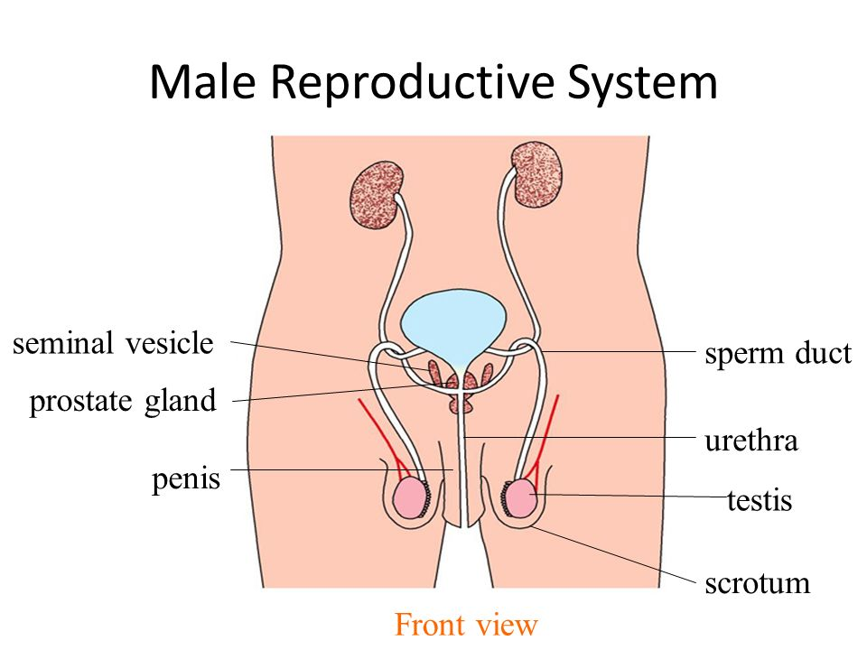 Male Human Reproductive System Diagram – craftbrewswag.info