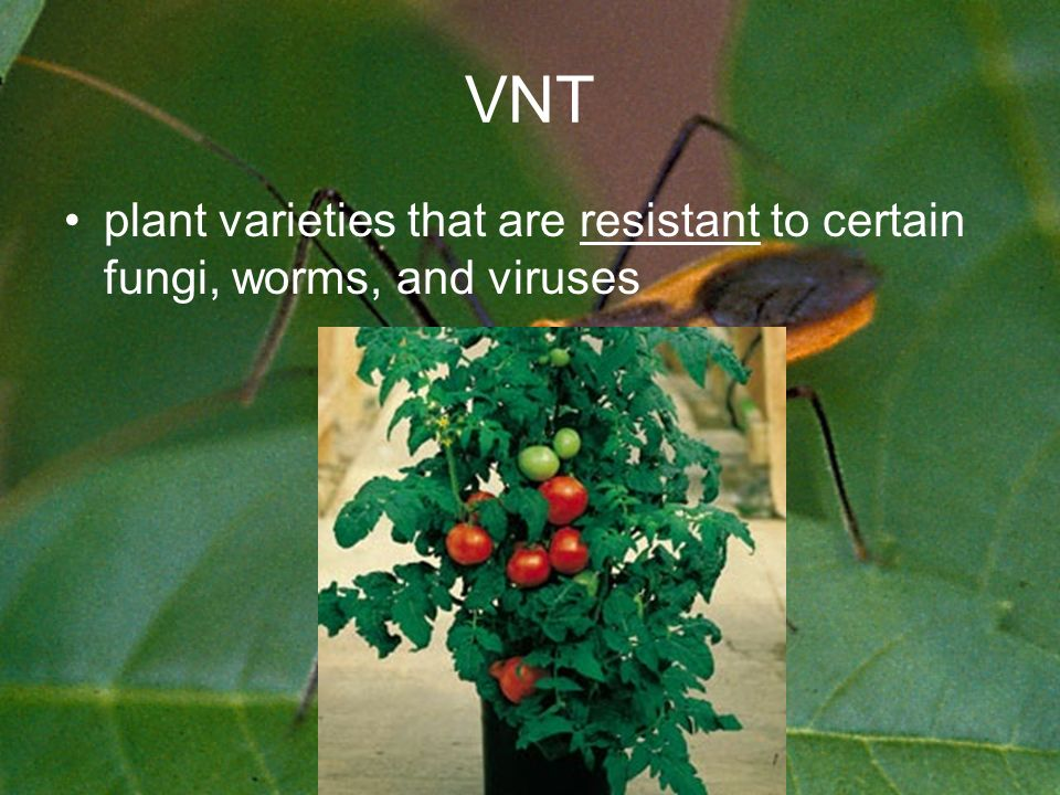 VNT plant varieties that are resistant to certain fungi, worms, and viruses