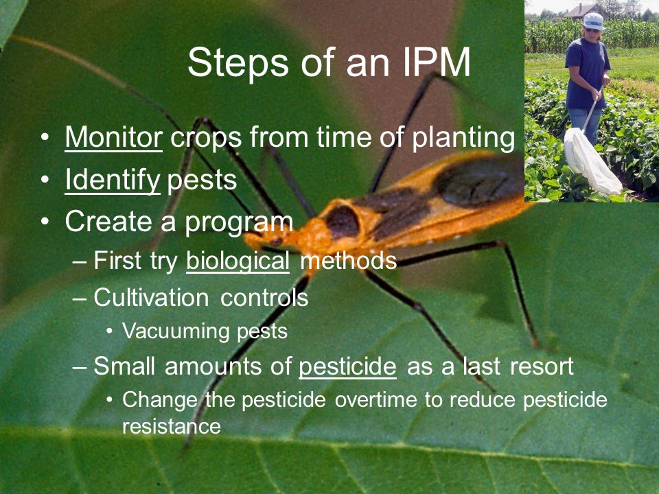 Steps of an IPM Monitor crops from time of planting Identify pests Create a program –First try biological methods –Cultivation controls Vacuuming pests –Small amounts of pesticide as a last resort Change the pesticide overtime to reduce pesticide resistance