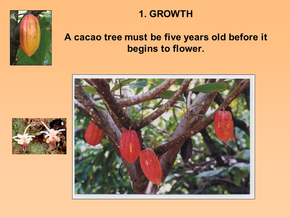 1 growth a cacao tree must be five years old before it begins to growth a cacao tree must be five years old before it begins to flower sciox Image collections