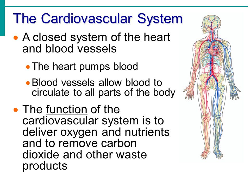 Chapter 11 part 1 the cardiovascular system the cardiovascular 2 the cardiovascular ccuart Images