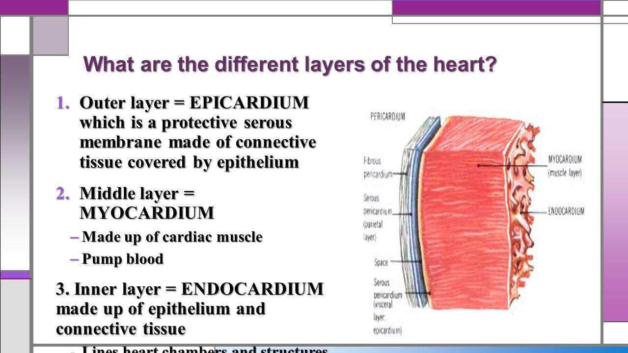 Heart layers anatomy