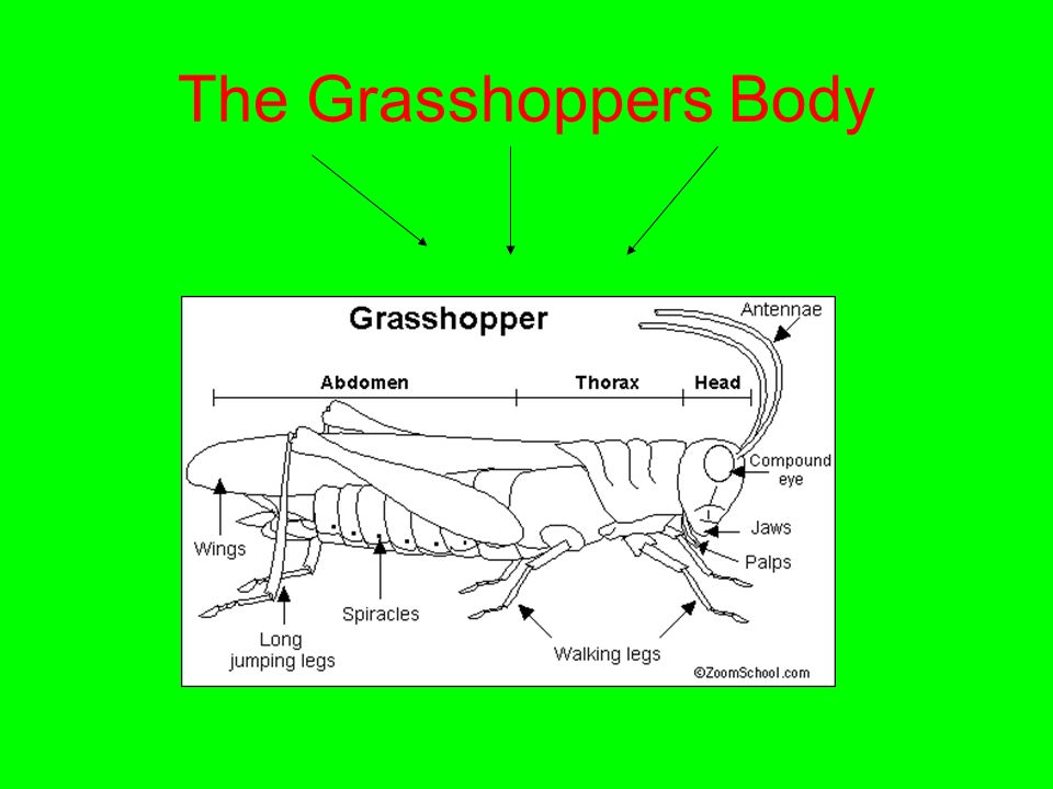 Grasshopper Jumping Legs And And Diagram - Wiring Library •