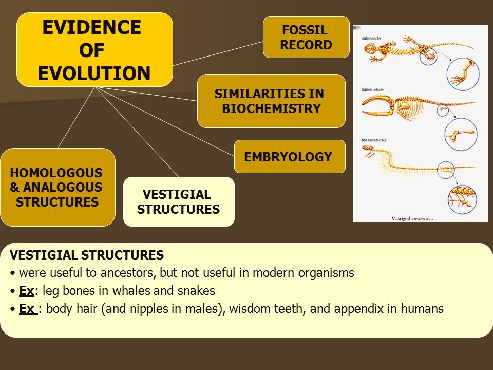 EMBRYOLOGY HOMOLOGOUS & ANALOGOUS STRUCTURES VESTIGIAL STRUCTURES SIMILARITIES IN BIOCHEMISTRY VESTIGIAL STRUCTURES were useful to ancestors, but not useful in modern organisms Ex: leg bones in whales and snakes Ex : body hair (and nipples in males), wisdom teeth, and appendix in humans FOSSIL RECORD EVIDENCE OF EVOLUTION
