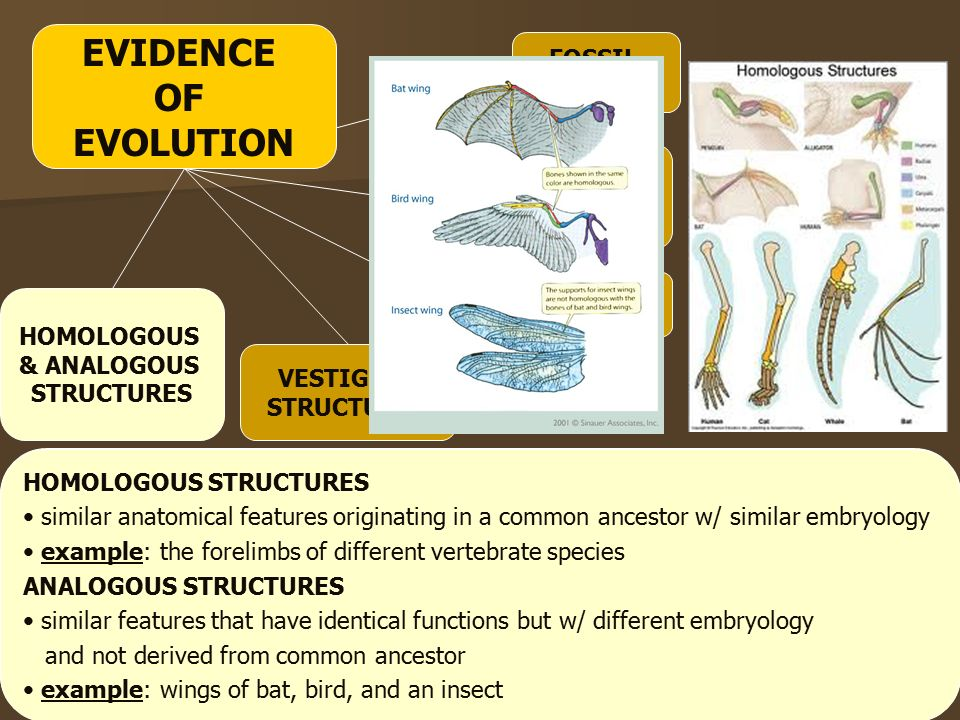 EMBRYOLOGY HOMOLOGOUS & ANALOGOUS STRUCTURES VESTIGIAL STRUCTURES SIMILARITIES IN BIOCHEMISTRY HOMOLOGOUS STRUCTURES similar features that originated in a common ancestor with similar embryology example: the forelimbs of different vertebrate species HOMOLOGOUS STRUCTURES similar anatomical features originating in a common ancestor w/ similar embryology example: the forelimbs of different vertebrate species ANALOGOUS STRUCTURES similar features that have identical functions but w/ different embryology and not derived from common ancestor example: wings of bat, bird, and an insect FOSSIL RECORD EVIDENCE OF EVOLUTION