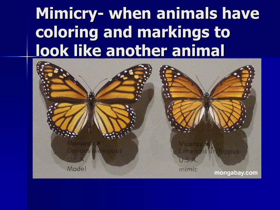 Mimicry- when animals have coloring and markings to look like another animal