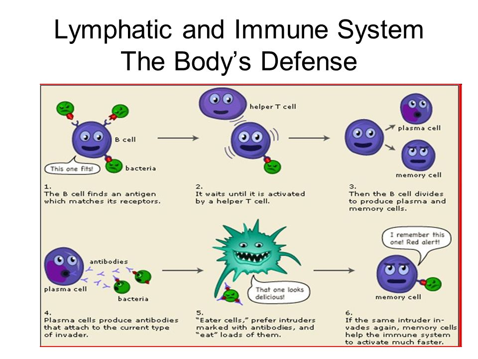 Lymphatic and Immune System The Body's Defense