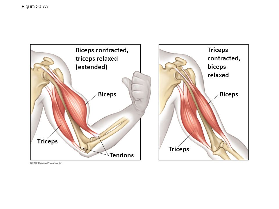 Perfect Bicep Tricep Anatomy Embellishment - Anatomy And Physiology ...