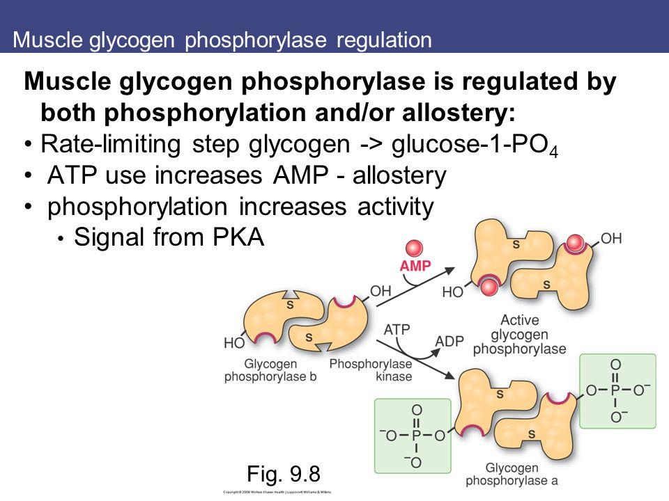 Muscle glycogen phosphorylase regulation Fig.